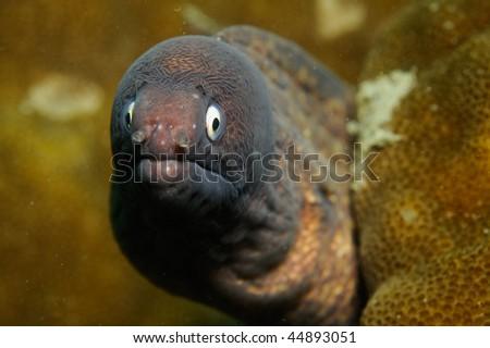 Gymnothorax thyrsoideus ,White-eye Moray Eel - stock photo