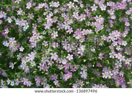 gypsophila flower. - stock photo