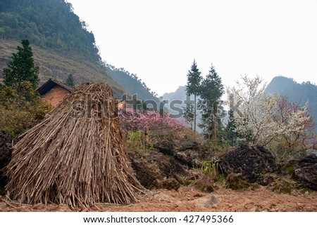 HA GIANG, VIET NAM, February 4, 2016 peach blossom, spring, Ha Giang on the high mountains, Vietnam