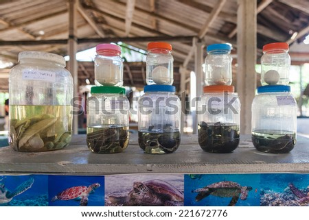 HABARADUWA, SRI LANKA - MARCH 11, 2014: Turtles and eggs in glass jars at Sea Turtle Farm and Hatchery. The center was started in 1986 and up to now they released more than 500,000 Turtles to ocean - stock photo