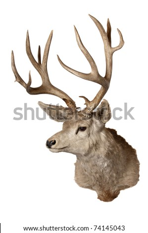 Had of a odocoilus hemionus (Black-taied or Mule deer), isolated on white - stock photo
