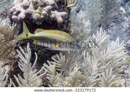 Haemulon carbonarium, the Caesar grunt, is a species of grunt native to the western Atlantic Ocean - stock photo
