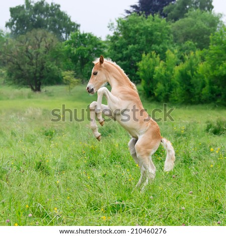 Haflinger horse, a cute foal rearing and frolic around in a meadow - stock photo