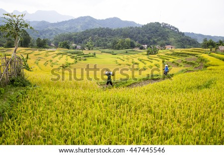 Hagiang, Vietnam - June 11, 2016: Farmer harvesting and carrying rice in the field. Agricultural products accounted for 30 percent of exports in Vietnam.