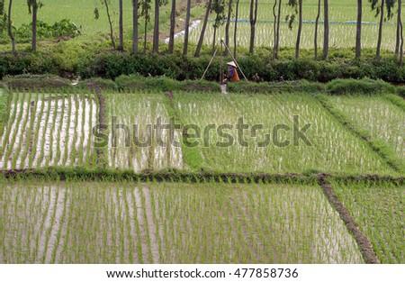 HAI DUONG, Vietnam, August 26, 2016 the woman, tending rice paddies, a suburb of Hai Duong, Vietnam