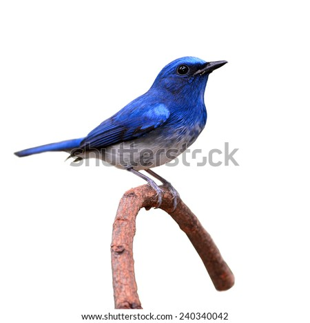 Hainan Blue Flycatcher (Cyornis hainanus) bird perching on a branch on white background - stock photo