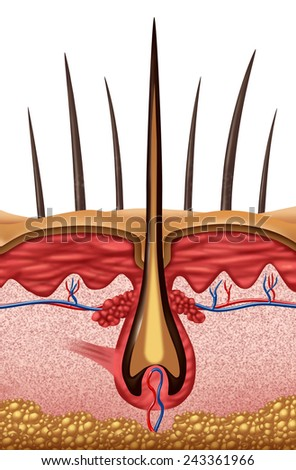 Hair anatomy medical concept as symbol of a human follicle symbol on skin. - stock photo