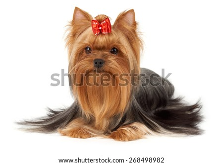 Hair of this purebred Yorkshire terrier is groomed by professional breeder. Its head is bright red with bow on top. Dog is isolated on white background.                      - stock photo