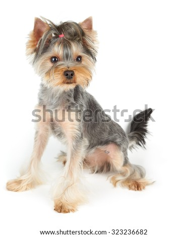 Haircut Yorkshire Terrier sits on white background                               - stock photo