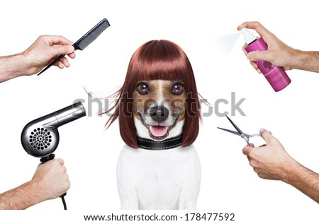 hairdresser dog ready to look beautiful at the spa - stock photo