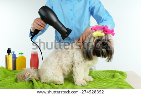 Hairdresser dried hair of Shih Tzu dog in barbershop isolated on white - stock photo