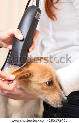 Hairdresser mows Jack Russell Terrier fur on the head with a trimmer - stock photo