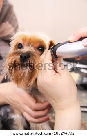 Hairdresser mows Yorkshire Terrier fur on the ear with a trimmer - stock photo
