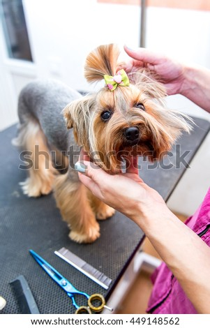 Hairdryer styling. Yorkshire terrier stands on the table while being processed by hair drying machine.