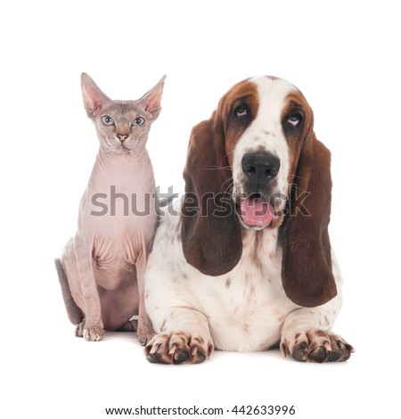 Hairless cat sitting next to a Basset hound, isolated on white