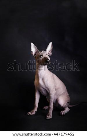 Hairless dog - stock photo