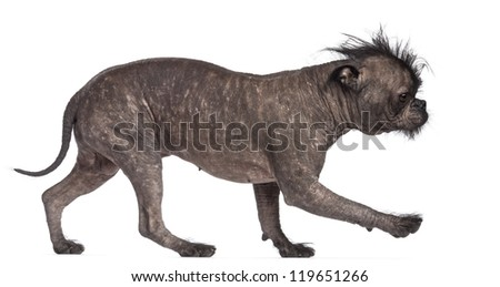 Hairless dog, mix between French bulldog and Chinese Crested Dog, walking against white background