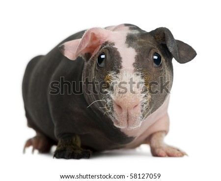 Hairless Guinea Pig in front of white background - stock photo