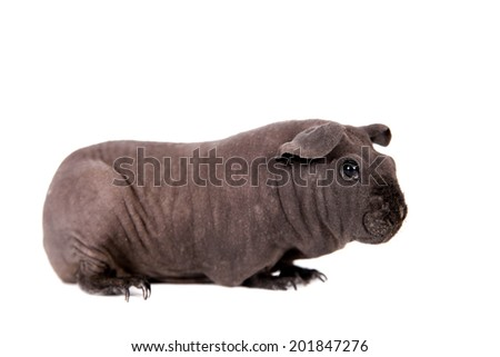 Hairless Guinea Pig isolated on white - stock photo