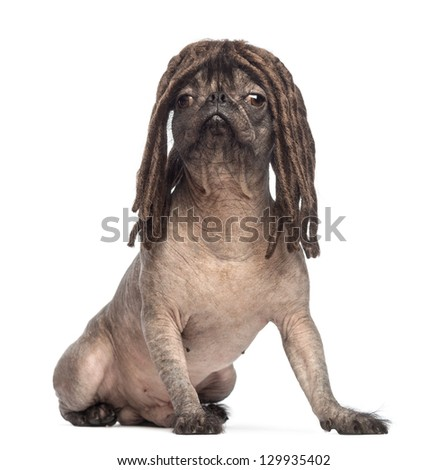 Hairless Mixed-breed dog, mix between a French bulldog and a Chinese crested dog, sitting and wearing a dreadlocks wig in front of white background - stock photo
