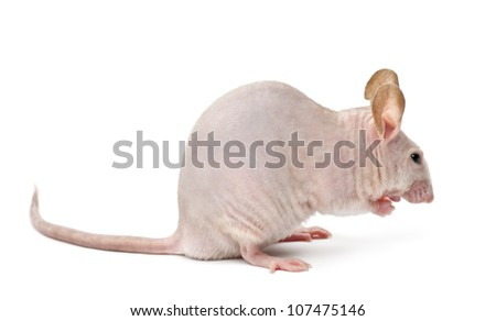Hairless mouse, Mus musculus, against white background - stock photo
