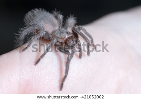 Hairy black spider on a human hand