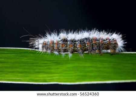 hairy caterpillar walking on a shape of grass - stock photo