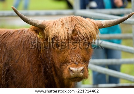 Hairy cow in highland - stock photo