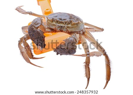 Hairy crabs on the shovel isolated in white background - stock photo