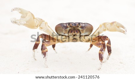 Hairy leg mountain crab males on Tachai  Islands in Thailand. - stock photo