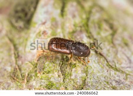 Hairy spruce bark beetle, Dryocoetes autographus - stock photo