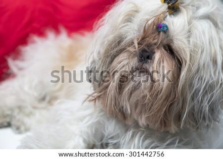 Hairy white little dog close up portrait. Shi tzu breed furry puppy. - stock photo