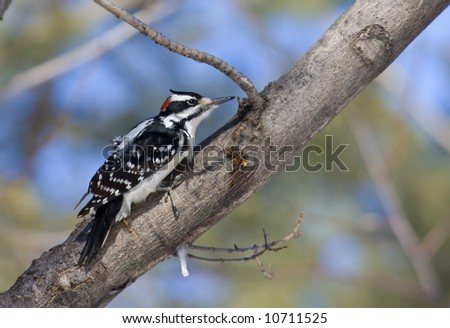 Hairy woodpecker - stock photo