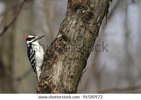 Hairy Woodpecker Picoides villosus - stock photo