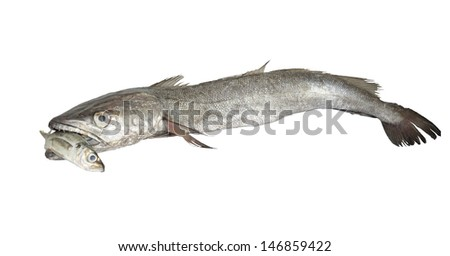 Hake hunting small fish on white background