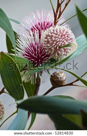 Hakea laurina (Pin-cushion Hakea) is one of the most beautiful native plants of south-western Australia. In Italy and America its uses include street and hedge planting. - stock photo