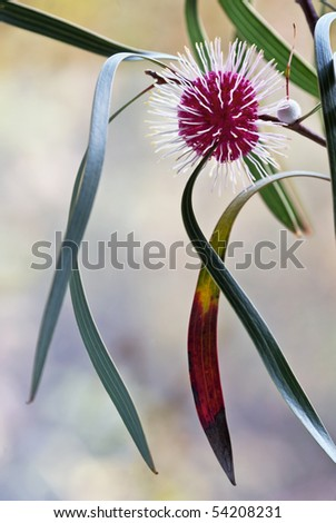 Hakea laurina showing flowerhead and leaves - stock photo