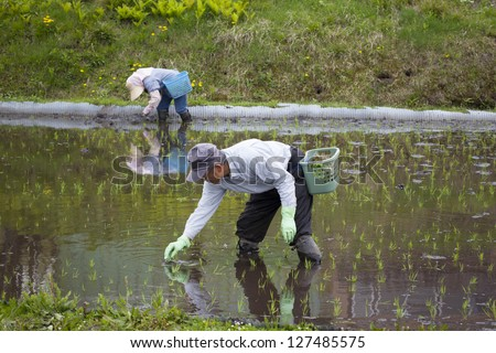 HAKUBA, JAPAN - MAY 17 : People planting rice seedlings in a flooded paddy field near Lake Aoki, Hakuba on May 17, 2012. It is unusual to see rice planted by hand in Japan as it is mostly mechanized.