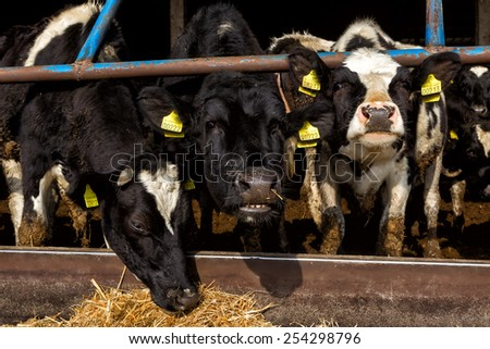 HALASTRA , GREECE JANUARY 21, 2015 : Many cows feeding in large cowshed in the region Halastra west of Thessaloniki - stock photo