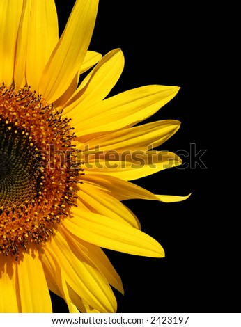 Half a sunflower isolated on a black background. - stock photo
