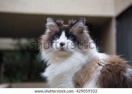 Half Body Portrait of Long Hair Bi Color Brown White Ragdoll Cat with Blue Eyes and Black Button Nose and Long Whiskers Sitting on Ledge - stock photo