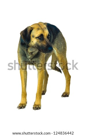 Half breed stray dog isolated