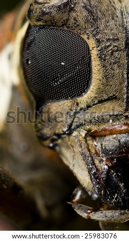 Half face macro portrait of a long horn beetle - stock photo