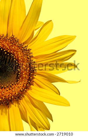 Half segment of a flowering sunflower against a pastel yellow background. - stock photo