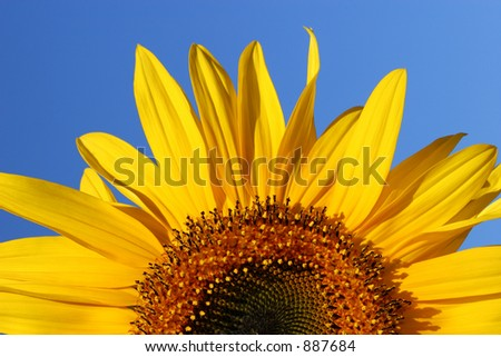 Half segment of a flowering sunflower on a clear blue sky day. - stock photo