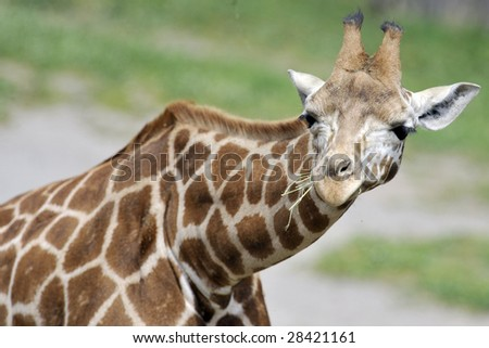 Half view of giraffe in a zoo.