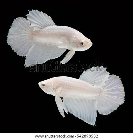 Fish tail fish beautiful - photo#4