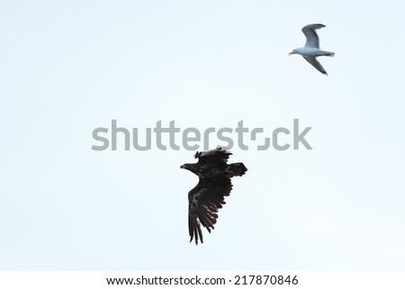Haliaeetus albicilla, White-tailed Sea-eagle.  The photo was taken in the Kandalaksha Gulf of the White Sea. Russia, Murmansk region. Island Lodeinoe. - stock photo