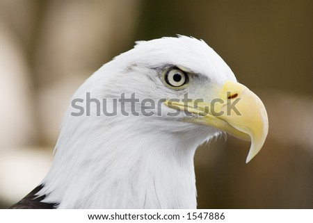 Haliaeetus leucocephalus or Bald Eagle. The National Bird of the United States of America. This image was not taken in the wild.
