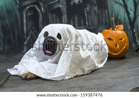 Halloween Dog wears a sheet, disguised as a ghost costume - stock photo